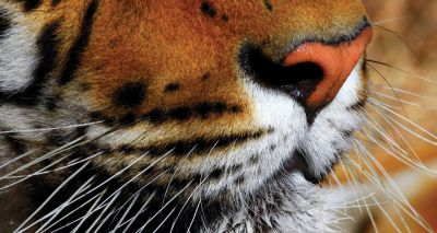 WWF calls on China to maintain ban on tiger and rhino products