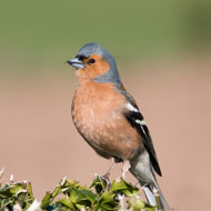 Leg lesions in garden birds peak during winter - study