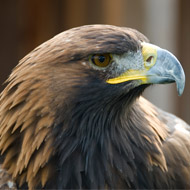 Bird of prey poisonings in Scotland at record low
