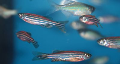 Zebrafish study reveals insights into spinal cord injuries
