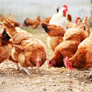 Study shows potential of avian flu to infect humans