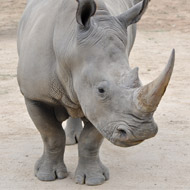 Discovery offers hope for northern white rhino
