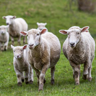 Calls to provide funding for sheep scab in Wales