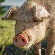 Majority of European pigs tail-docked - study
