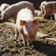 Low-level herd diseases in pigs to be identified at slaughter
