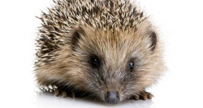 Vets urged not to carry out amputations on hedgehogs