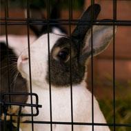 Call for stricter regulation of rabbit breeders