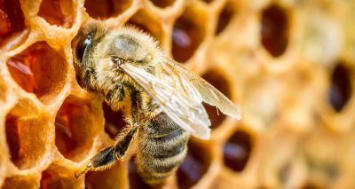Honeybee protein keeps stem cells young