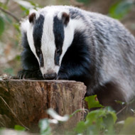 Fifth of Cheshire badgers infected with Bovine TB