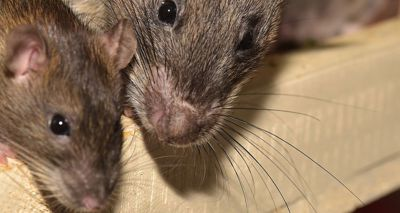 Rift Valley Fever Virus can be transmitted from mother to foetus in rats
