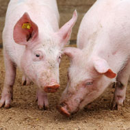 Antibiotics are masking disease challenges in pig farms, report claims