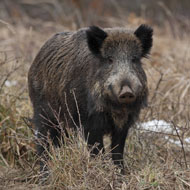 France to cull wild boar to prevent ASF