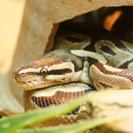 Snakes need space to fully stretch their bodies - study