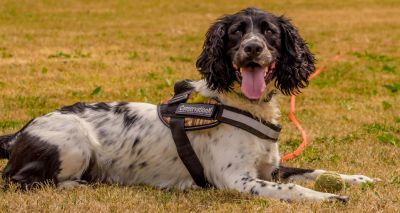 Conservation detection dog saving Britain's hedgehogs