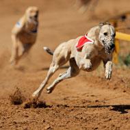 Multi-million pound deal to boost greyhound welfare
