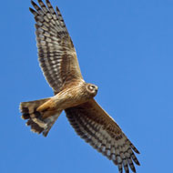 Hen harriers '10 times more likely to die or disappear on grouse moors'