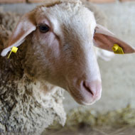 A dozen sheep killed by dogs in Sussex