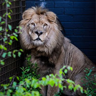 Three lions rescued from 'Europe's worst zoo'
