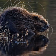 Scottish beavers given protected status