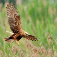 Injured marsh harrier found in Norfolk