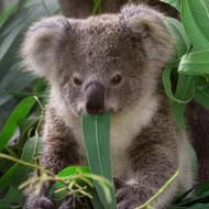 Scientists discover chlamydia-free koala population