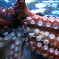 Octopus arms make decisions independently of the brain - study