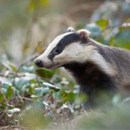 Badgers top the mammal roadkill list