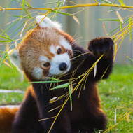 Zoo inundated with bamboo donations