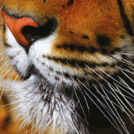 Two smuggled tigers seized a week, report shows