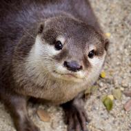 Cites: Trade ban to tackle 'otter cafes' craze
