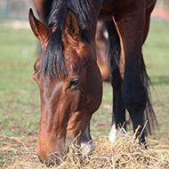 Vets speak out on laminitis control