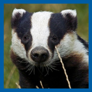 Badger cull caused 'huge suffering', vet says
