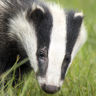 Badger cull rolled out to 11 new areas