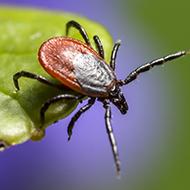 Tick-borne encephalitis virus identified in UK ticks