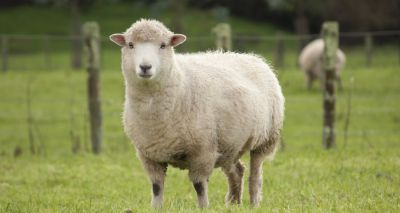Lung cancer in sheep offers clues to detection in humans