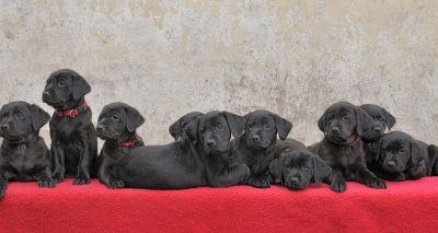 Labrador gives birth to 13 puppies