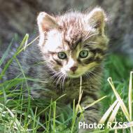 Scottish wildcats given lifeline