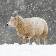 Climate change evokes individual responses in sheep and goats