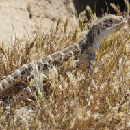 Non-invasive sampling enhances reptile conservation