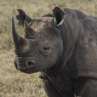 Counter-poaching troops help with black rhino relocation