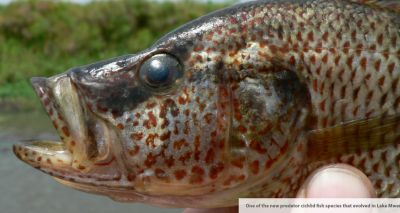 Female fish can breed new species if males are attractive enough