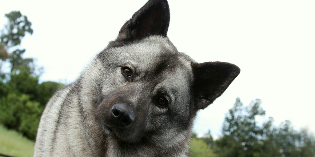 New DNA testing schemes for the Norwegian elkhound