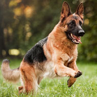 Hip and elbow screening improves long-term dog health - study