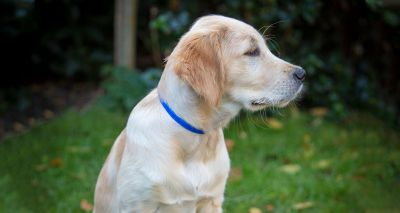 Puppies sought for University of Lincoln pheromone study