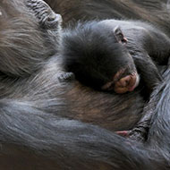 Rare chimp birth announced at Edinburgh Zoo