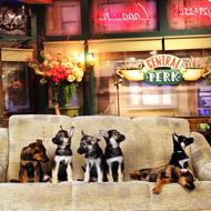 Six German shepherd puppies in Central Perk