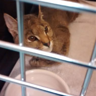 Jungle cat handed in to RSPCA hospital