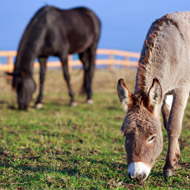 Donkeys need more protection from winter than horses, study finds