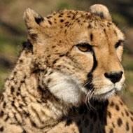 VNonline | Asiatic cheetah numbers fall below 50