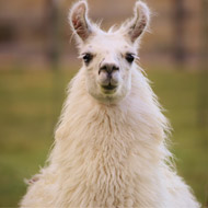 Llamas could possess 'holy grail' influenza treatment